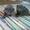 котенок породы нибелунг #1282755