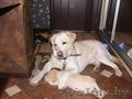 Продам щенка лабрадора-ретривера
